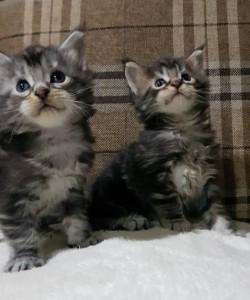 В нашем питомнике родились долгожданные котята от выпускницы Гармонии!