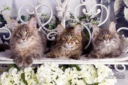 Весна, пора красоты  и обновления, мы решили не оставаться в стороне и посетить фото студию, показать своих котят во всей красе.