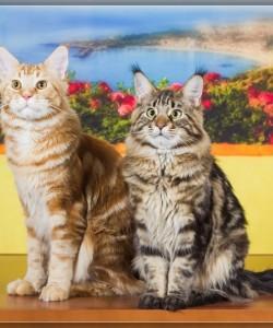 Наши мальчишки успешно участвовали в мартовской выставке ICU, красавчик принц Гарри- Чемпион, а Унисон – третий лучший котенок выставки!